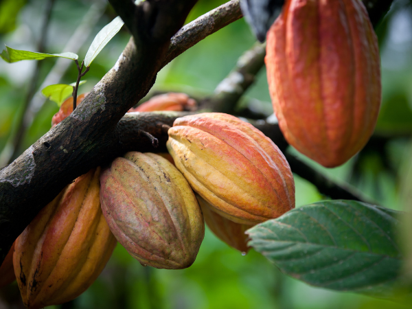Close up of red cacao pods on the tree